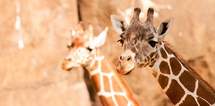 giraffes at philadelphia zoo.