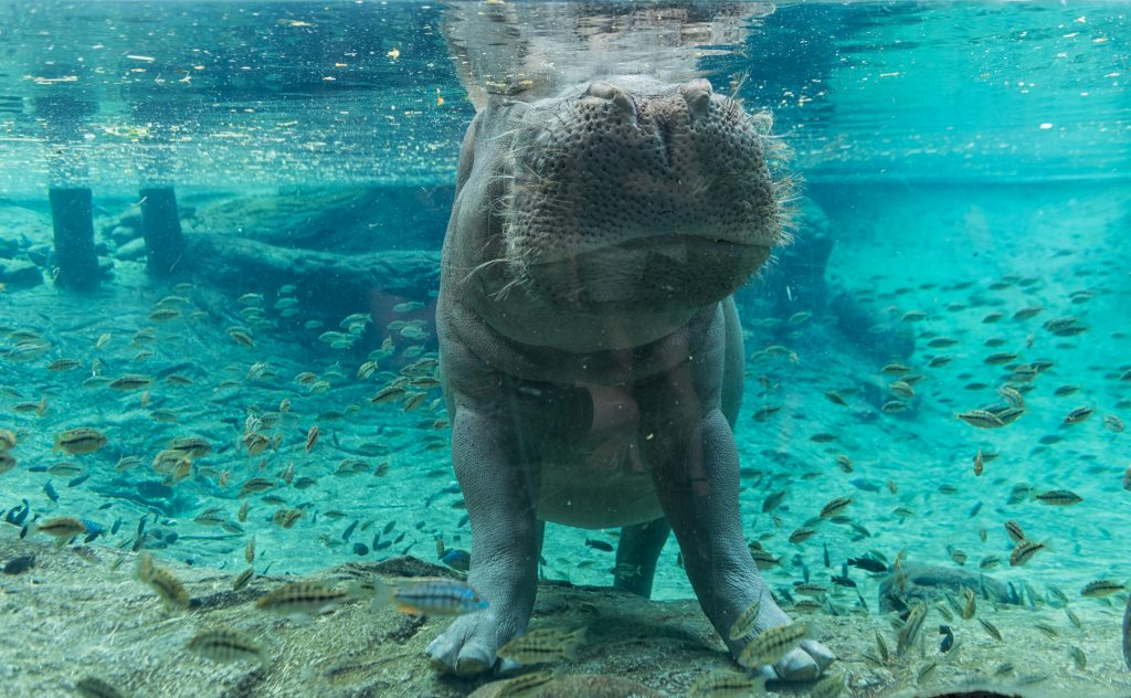hippo peeking above water at busch gardens in tampa