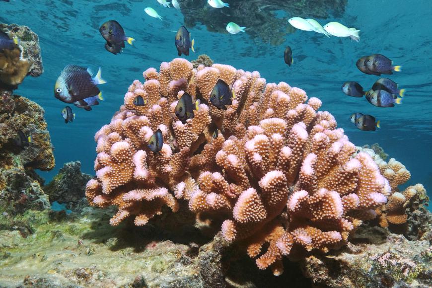 pink cauliflower coral national marine foundation american samoa