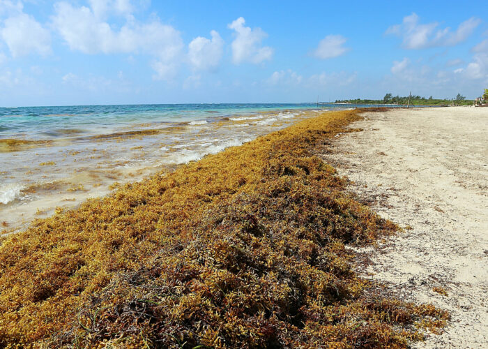 Piles of sargassum seaweed on the-Beach in Costa Maya Mexico.