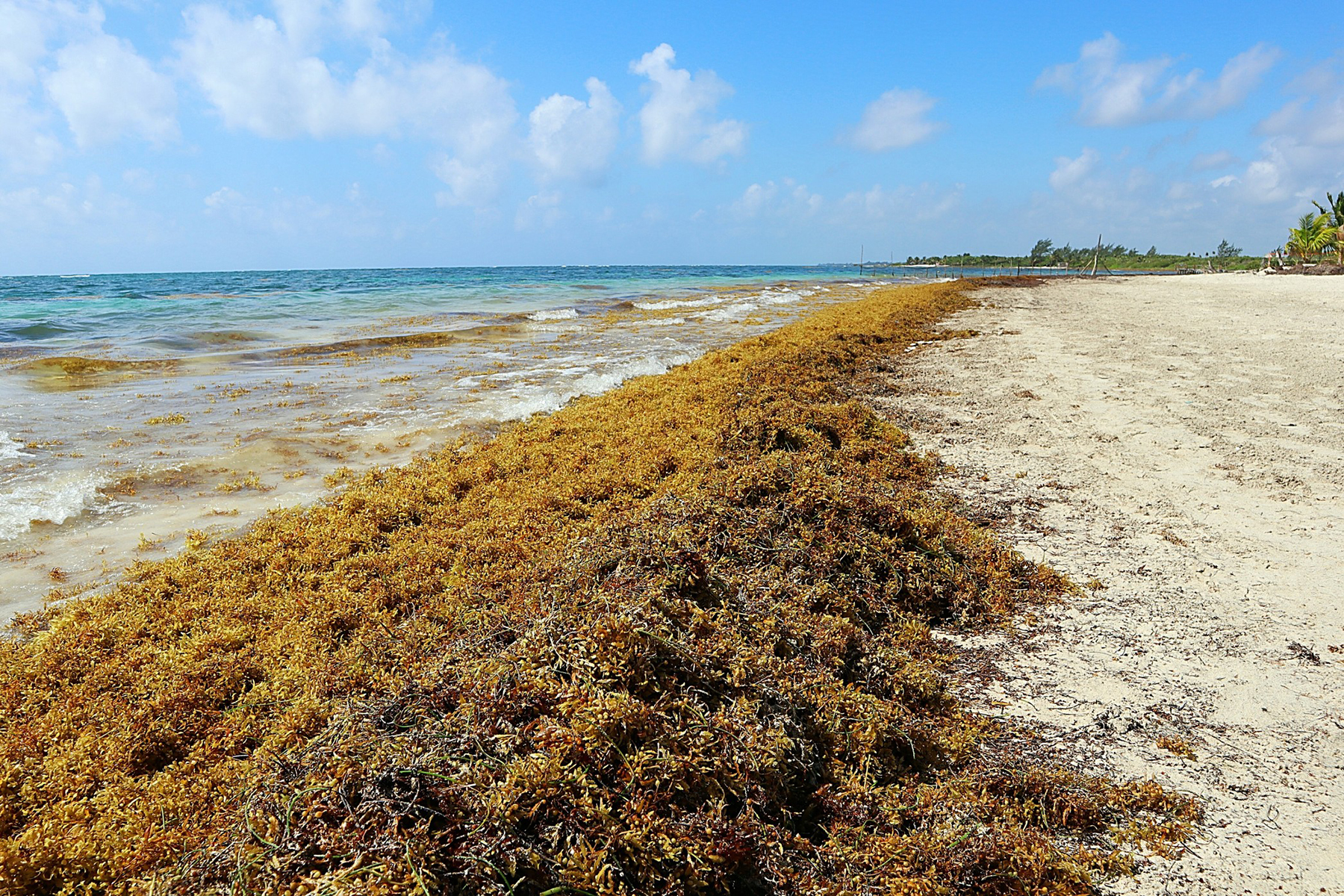 Beaches Overrun by Smelly Sargassum Seaweed Could Be New