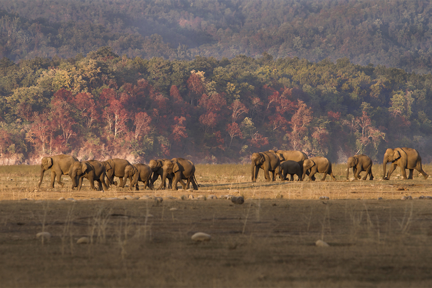 fall foliage and elephants in uttarakhand, india's jim corbett national park.