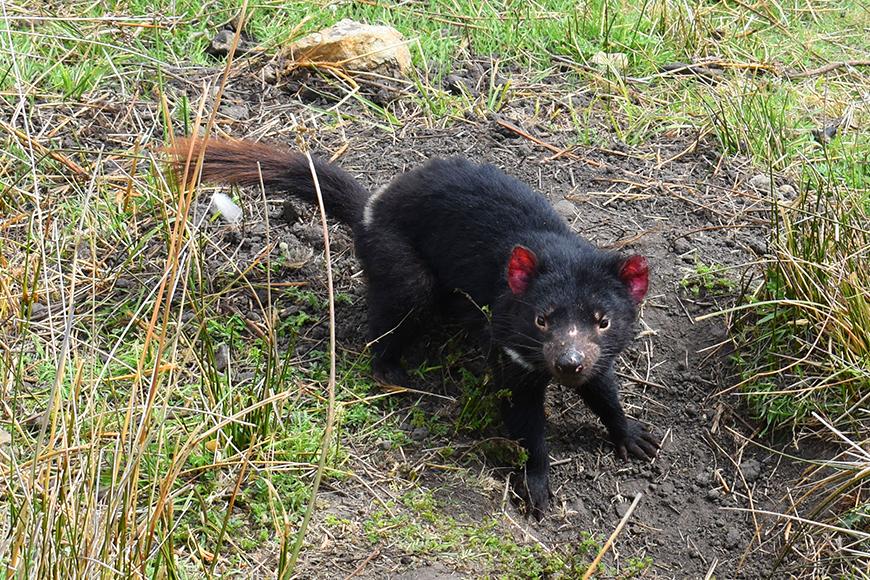 tasmanian devil maria island tasmania.