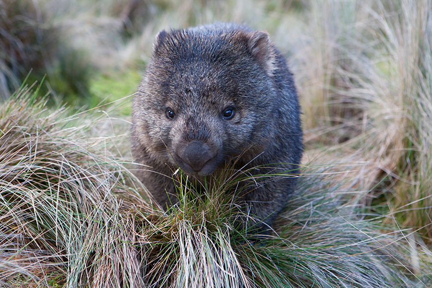 wombat cradle mountain tasmania.