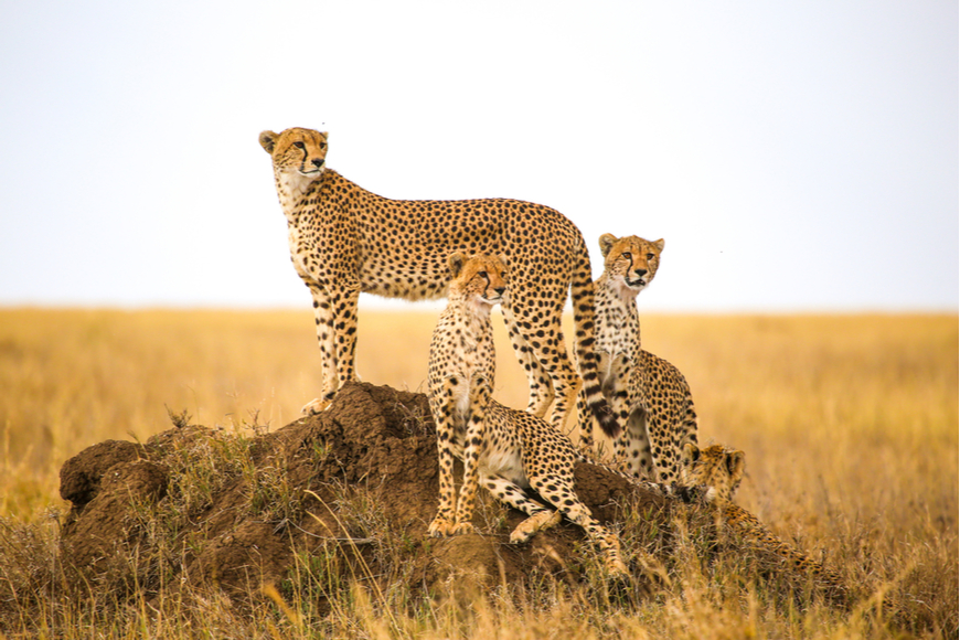 cheetahs on the serengeti national park tanzania.