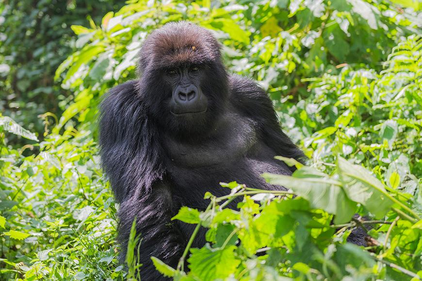 gorilla in rwanda.
