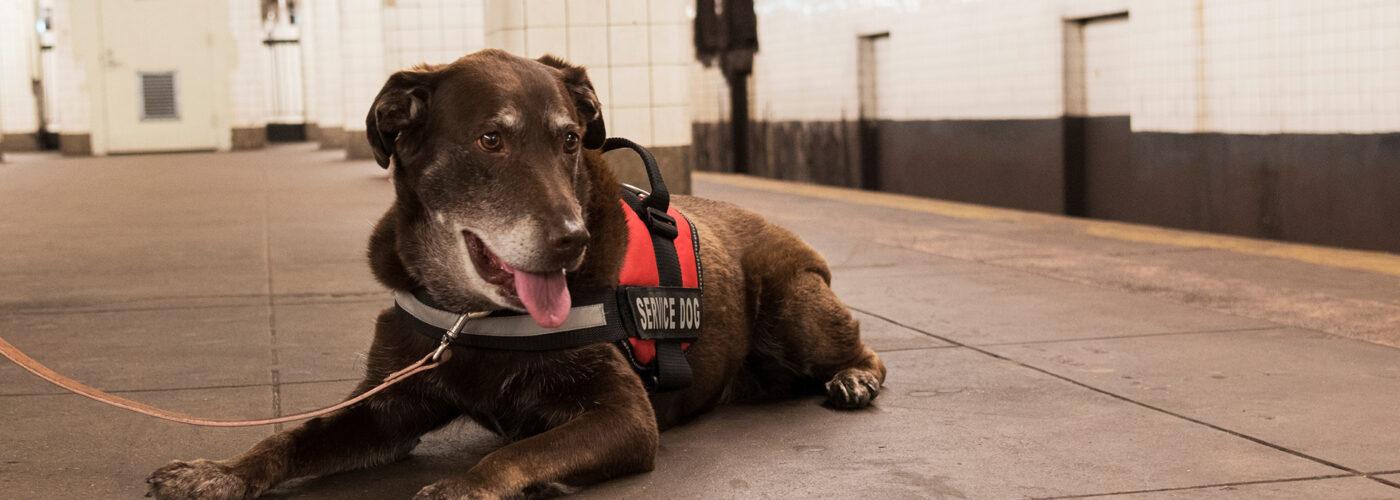 service dog on subway platform.