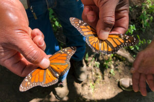 Piedra Herrada Butterfly Sanctuary in Valle de Bravo, three hours outside of Mexico City.