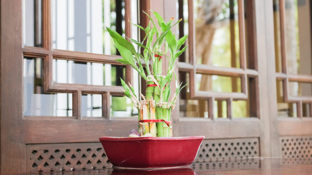 Bamboo in red pot.