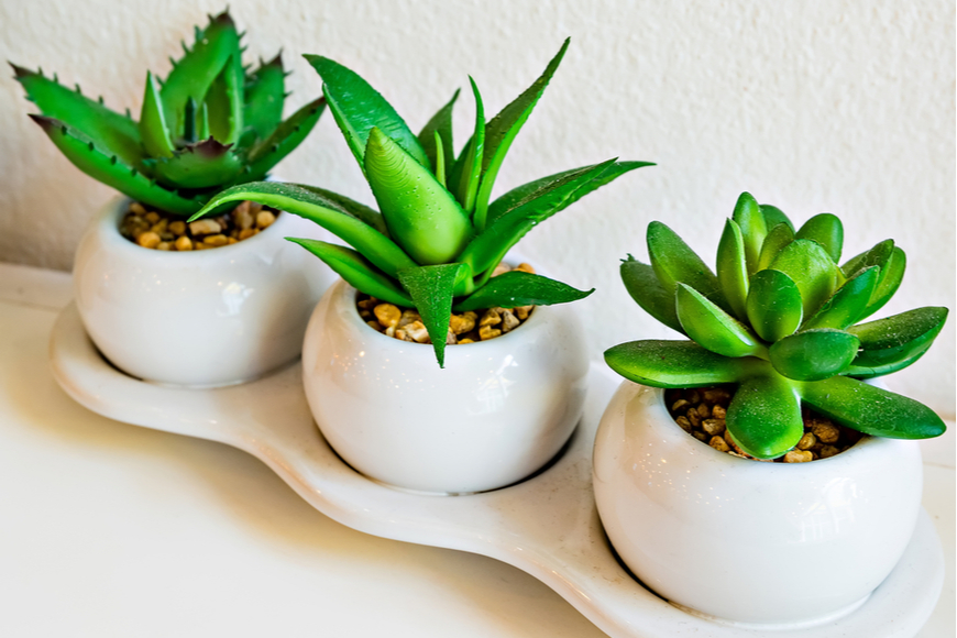 three aloe plants in pot.