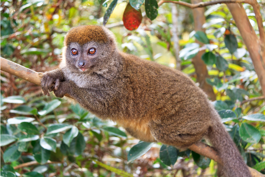 eastern lesser bamboo lemur madagascar.