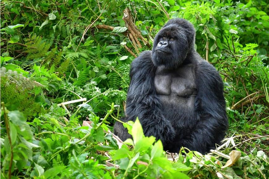 silverback gorilla rainforest.