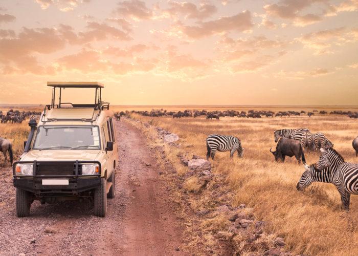 Safari game drive vehicle driving down road beside herd of zebras