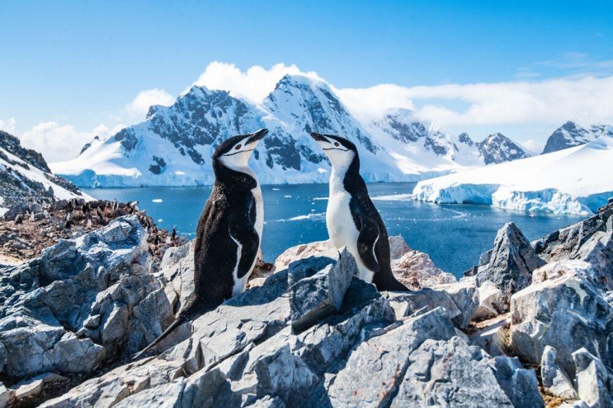 chinstrap penguin antarctica.