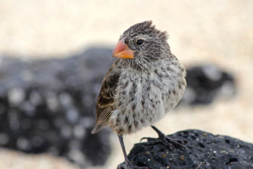 darwin's finch galapagos islands.