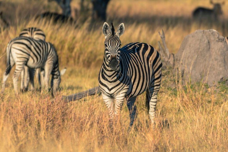 zebras botswana okavango delta khwai.