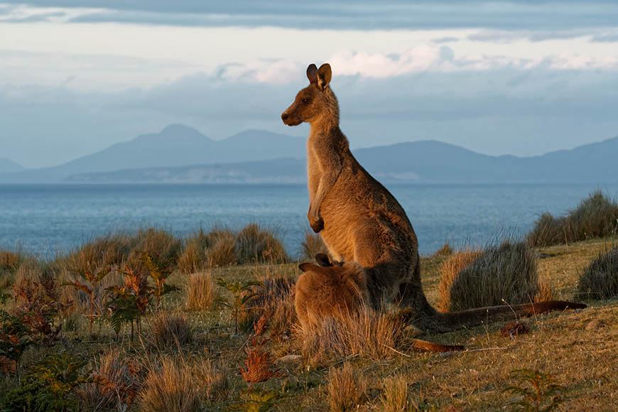 kangaroo on maria island tasmania.