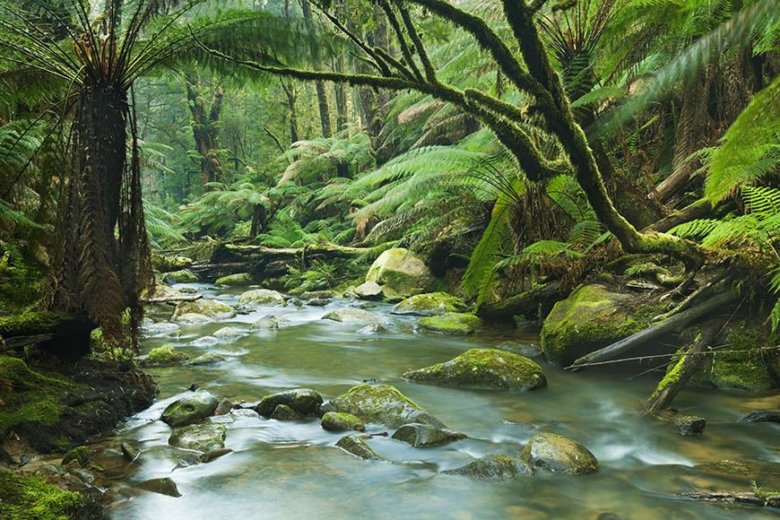 rainforest stream great otway national park.