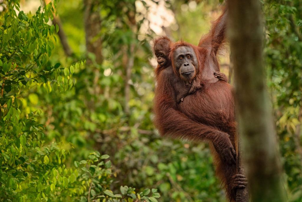 Orangutan in Borneo rainforest