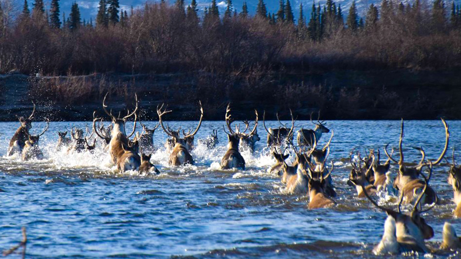 Wildlife runs through river in Kobuk Valley National Park, Alaska
