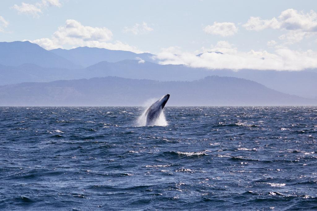 Humpback whale breaching near the San Juan Islands