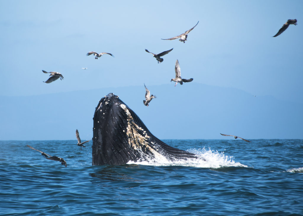 Whale breaching among flock of birds off coast of Monterey, California