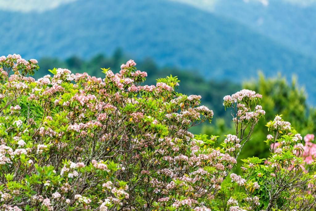 Mountain laurel in Shenandoah National Park