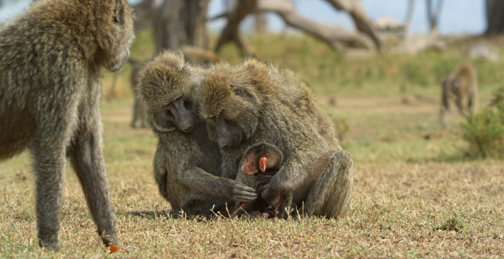 A family of baboons in the Serengeti