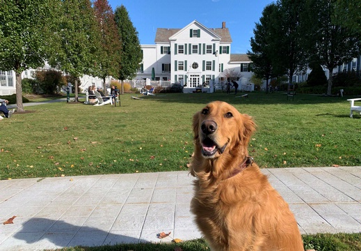 Golden Retriever dog at The Equinox Golf Resort and Spa
