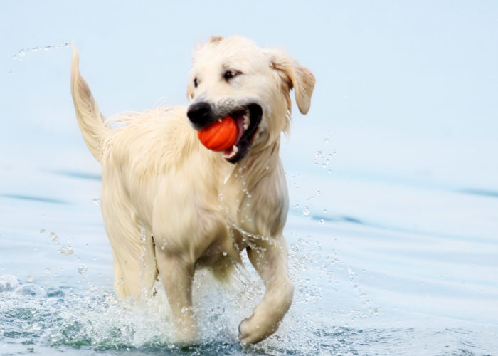 Two white dogs playing in the ocean at the beach